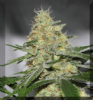 Dr Underground Auto Melon Gum Female 4 Seeds